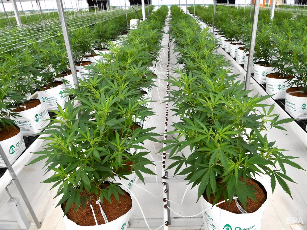 Выращивание конопли в дома закон как горело поле марихуаны