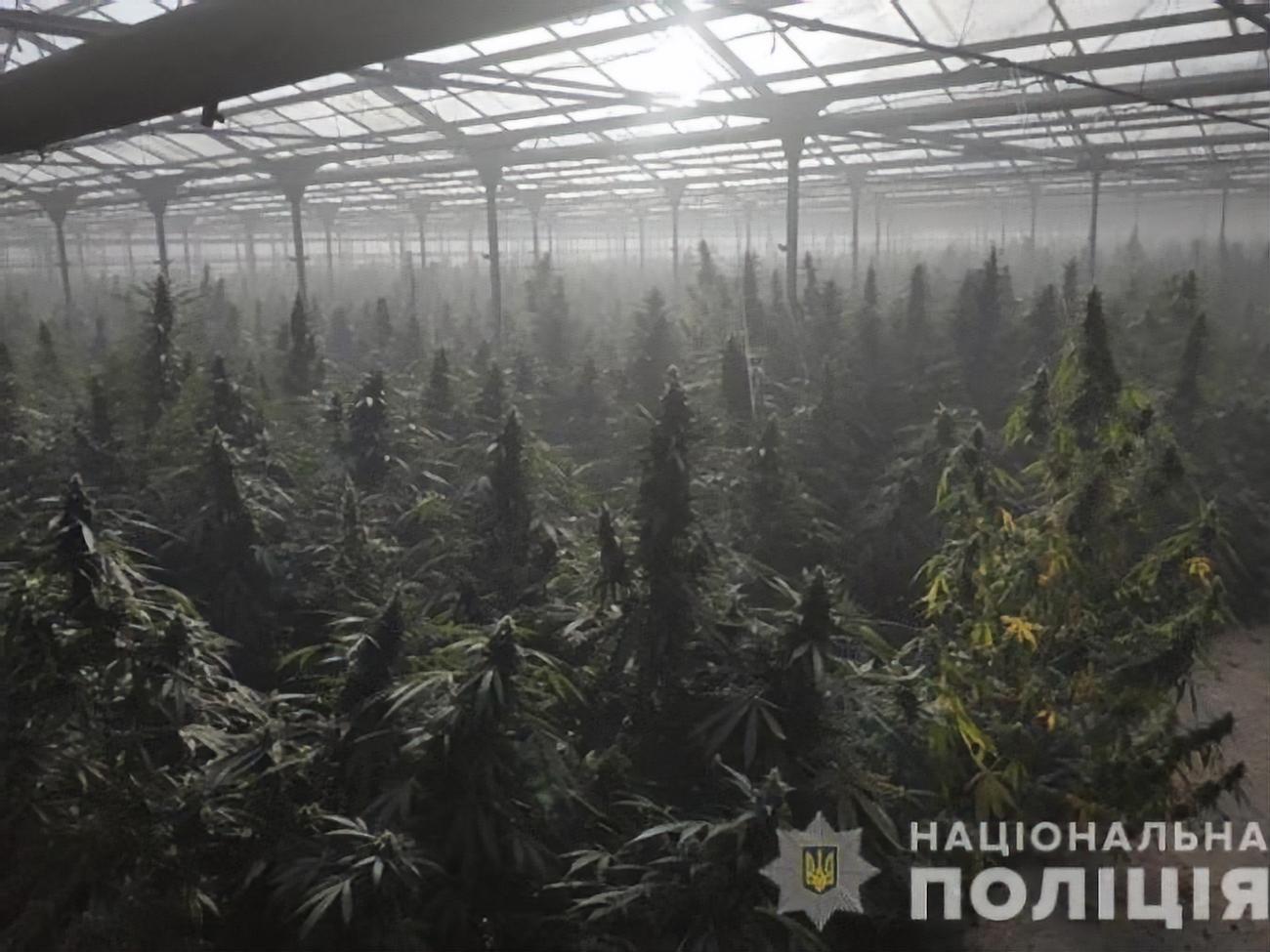 Самая большая конопля в украине последствие от марихуаны видео