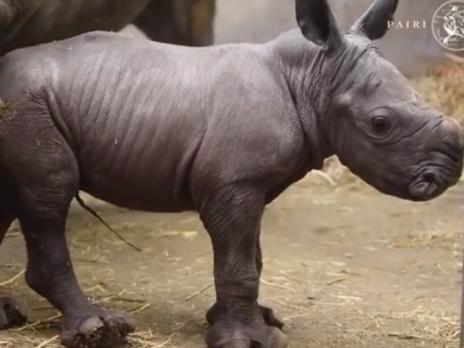 Маленький южный белый носорог родился 25 ноября