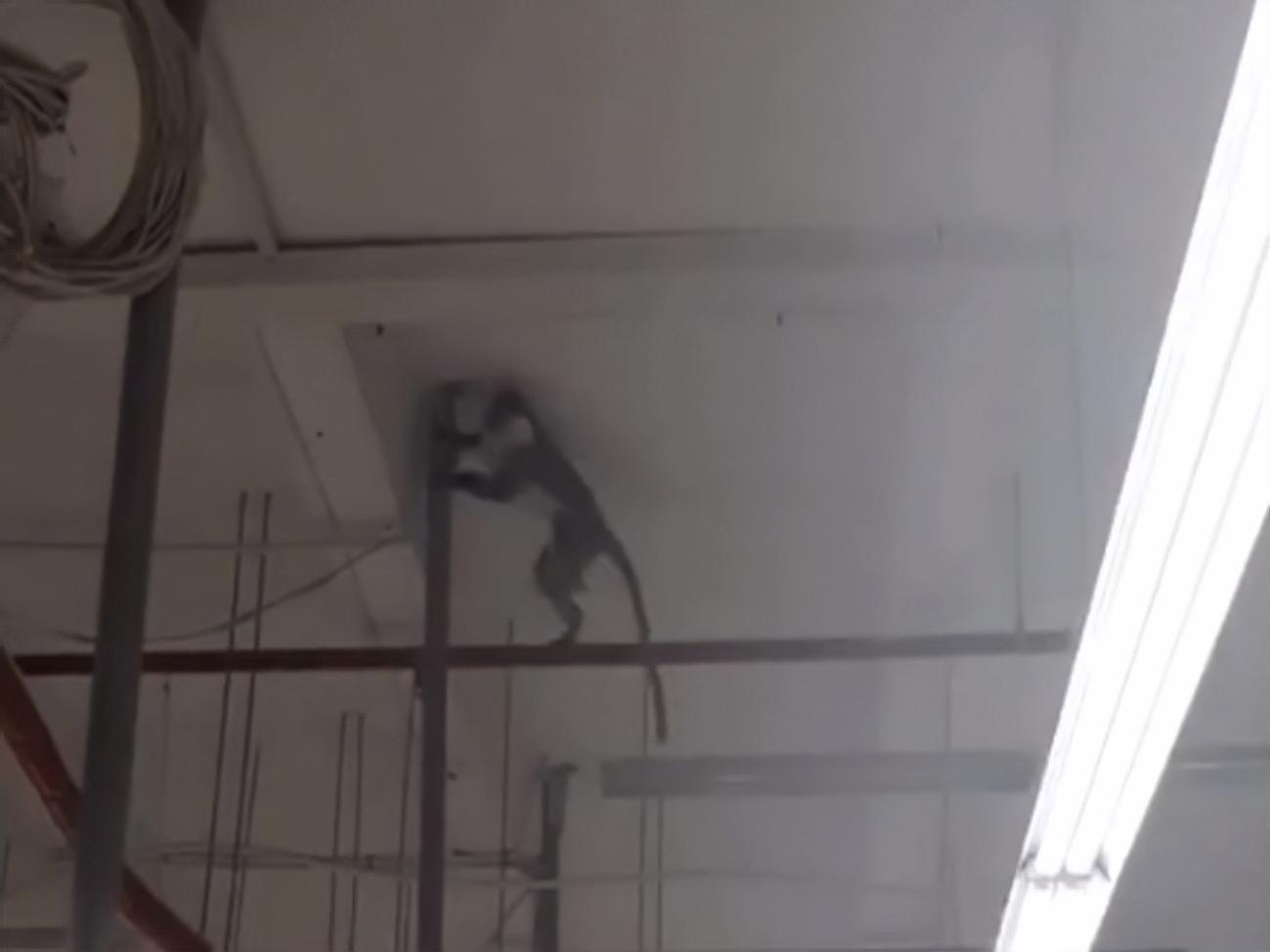 В Харькове супермаркет закрывали из-за оказавшейся на воле обезьяны