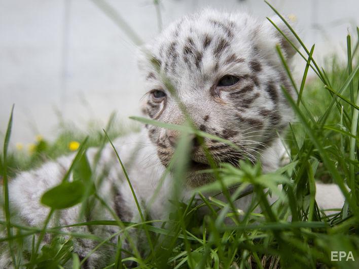 Бенгальські тигри належать до рідкісних тварин
