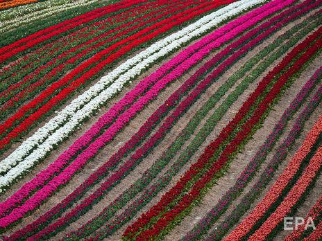 В Нидерландах фермеры уничтожают урожай тюльпанов, чтобы избежать новой вспышки коронавируса