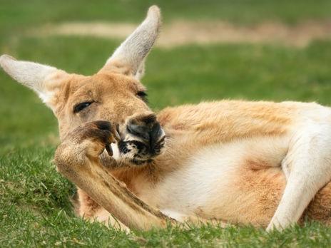 В городах Австралии из-за карантина появились кенгуру