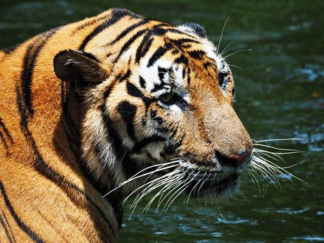 В зоопарке Нью-Йорка у семи львов и тигров выявили COVID-19
