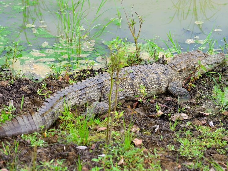 Полиция обнаружила в Херсонской области крокодила, решает, как его поймать