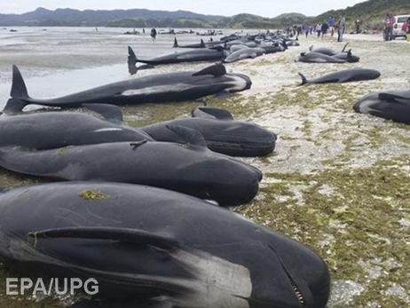 Сотни выбросившихся наберег вНовой Зеландии дельфинов создали новую проблему