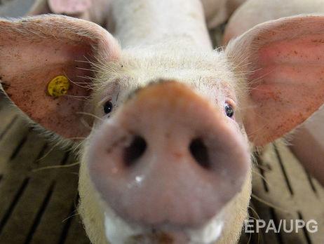 Смерть свиней снова зафиксирована вОдесской области