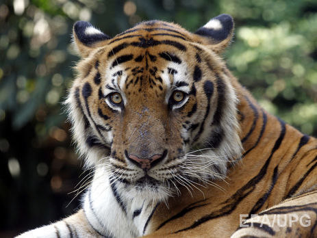 видео тигры ловят дрона