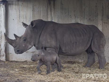 Бельгийцы отпилят носорогам рога взоопарке