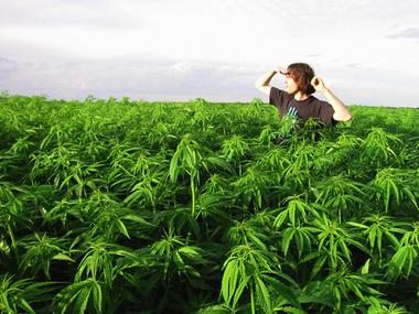 Марихуану вырастить в поле для чего выращивается конопля