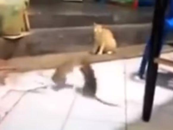 Крысы дрались, не обращая внимания на кота