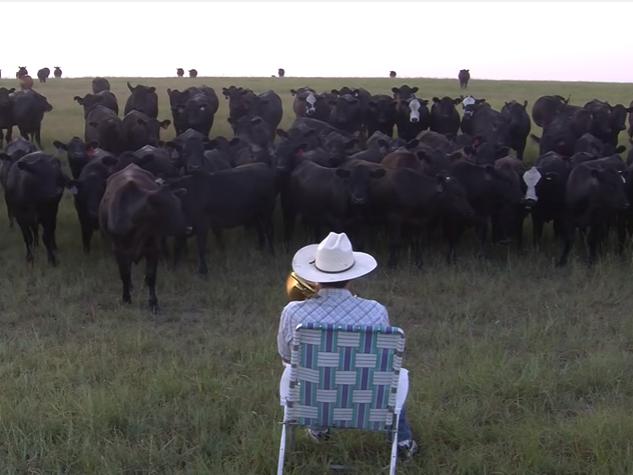 Відеохіт: фермер збирає корів, граючи на трубі