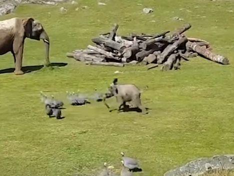 Слоненок охотится на птиц