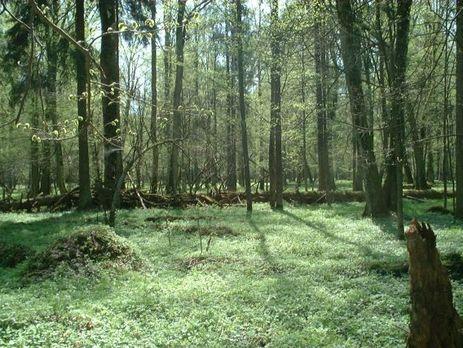 Суд ЄС тимчасово заборонив Польщі вирубку лісу в Біловезькій пущі