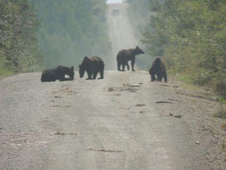 ВХабаровском крае медведи съели тонну рыбы из фургона