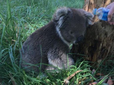 В Австралии коала проехала 16 км на оси колеса внедорожника