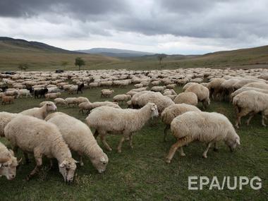 The Daily Mail: Британские ученые установят точки Wi-Fi на сельских овцах