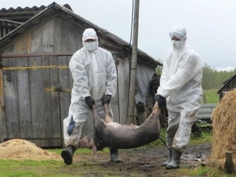 африканская чума свиней инструкция - фото 10